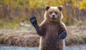 BearWaving